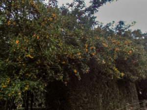 Balgowan crab apples (golden Hornet) in full fruit